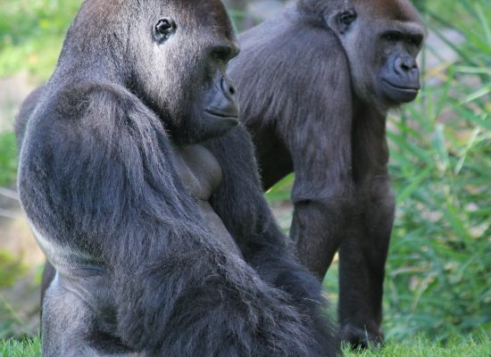 Gorillas and Teacher Evaluation